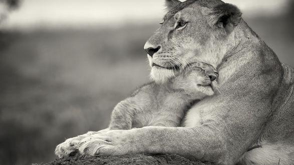 Обои Мама львица с малышом львенком