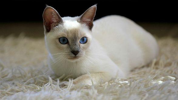 Обои Белая кошка с голубыми глазами лежит на ковре