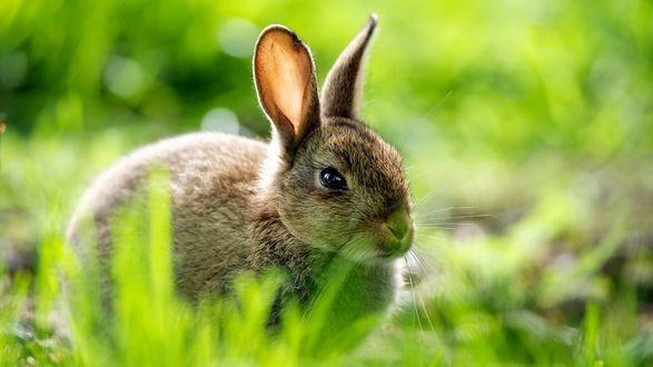 Обои Кролик на траве