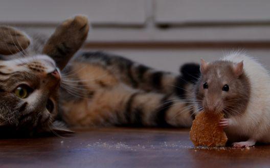 Обои Полосатый кот наблюдает с мышью, которая что-то ест