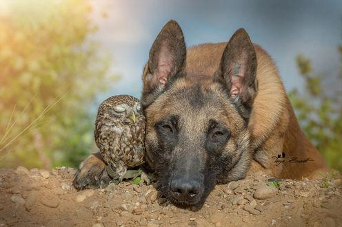 Обои Бельгийская овчарка малинуа и сова сыч лежат на песке, by Tanja Brandt