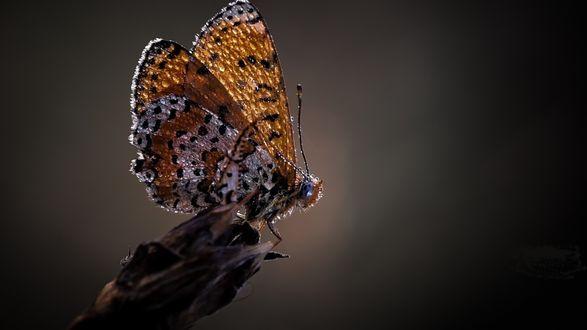 Обои Бабочка в каплях росы на темном фоне