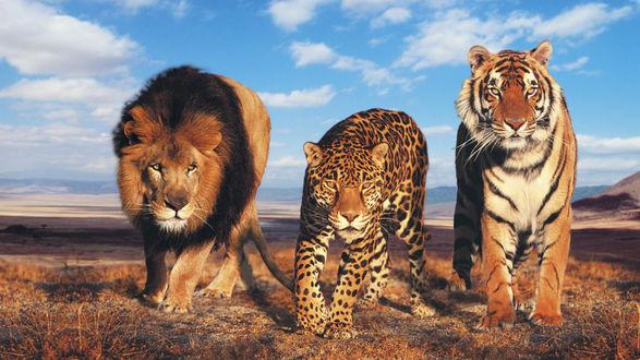 Обои Лев, Леопард и Тигр на фоне гор и облаков в синем небе