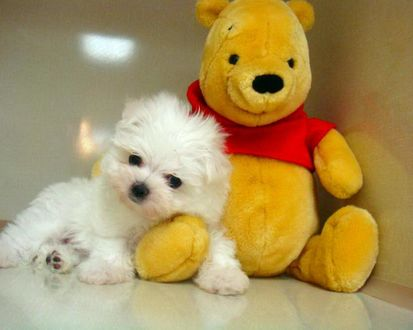 Обои Беленький щенок рядом с игрушечным медведем