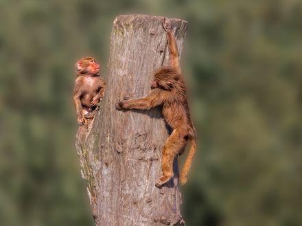 Обои Две обезьяны на бревне