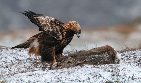 Обои Орел поймал жертву своей охоты косулю