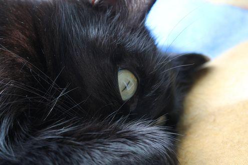 Обои Пушистая черная кошка