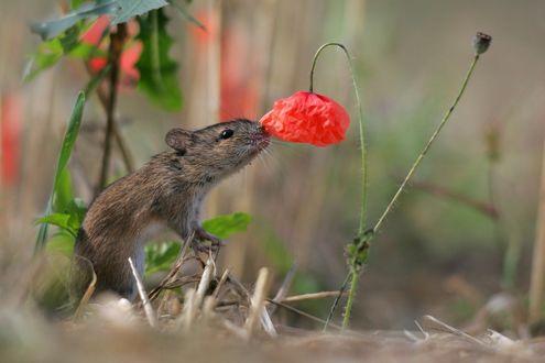 Обои Маленький мышонок нюхает цветок красного мака