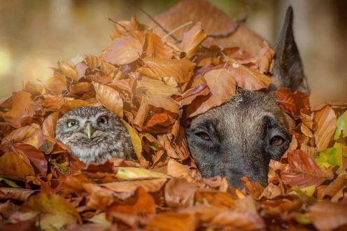 Обои Сова и пес в осенней листве, ву Tanja Brandt