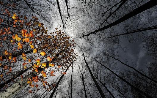 Обои Группа осенних деревьев на фоне пасмурного неба, вид снизу