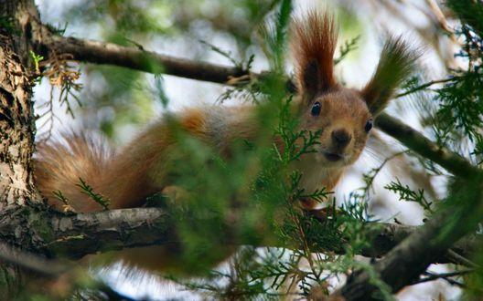 Обои Хорошенькая белочка с любопытством выглядывает через веточка дерева