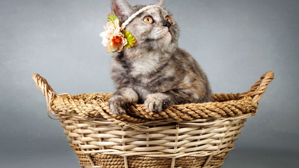 Обои Персидский кот сидит в плетеной корзинке