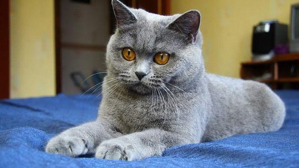 Обои Серый кот британец лежит на синем покрывале