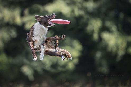 Обои Пес ловит фризби