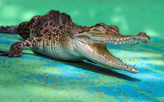 Обои Маленький крокодил, лежит раскрыв широко пасть с зубами