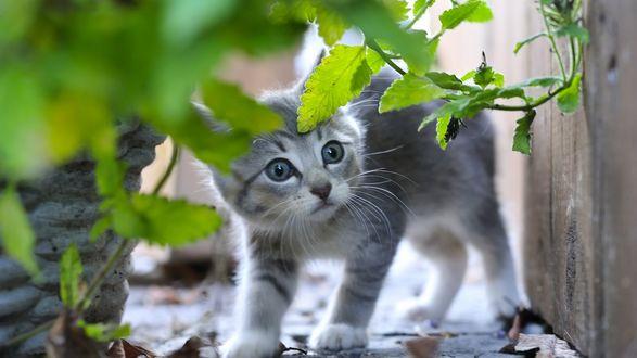 Обои Серый котенок смотрит испуганно из-за зеленых листьев