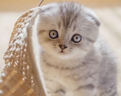 Обои Маленький котенок смотрит с интересом на нас