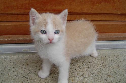 Обои Голубоглазый бело-рыжий котенок