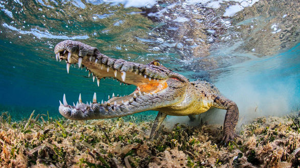Обои Крокодил под водой