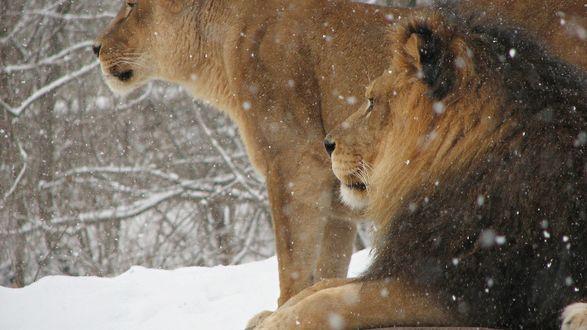 Обои Лев и львица под снегопадом смотрят вдаль