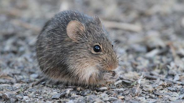 Обои Серая мышь на сухой листве