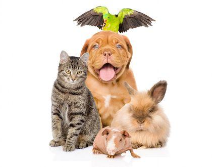 Обои Бордоский дог, котик, кролик, крыска, попугайчик, сидят вместе на белом фоне