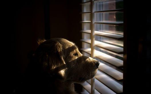 Обои Ретривер смотрит в окно в ожидании хозяина