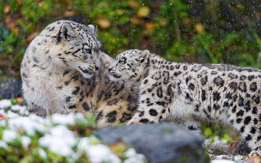 Обои Снежный барс и его детеныш стоят под снегопадом на фоне природы