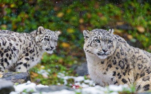 Обои Снежный барс и его детеныш под снегопадом на фоне природы