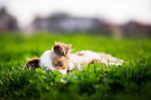 Обои Щенок Бордер-колли лежит в траве на размытом фоне