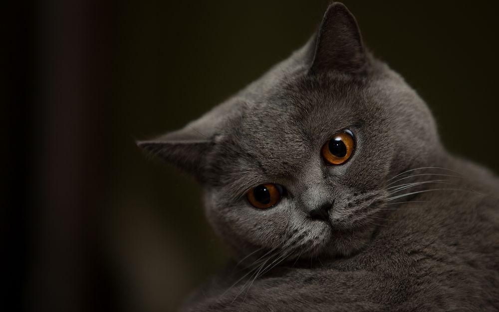 Кот картинки персидский