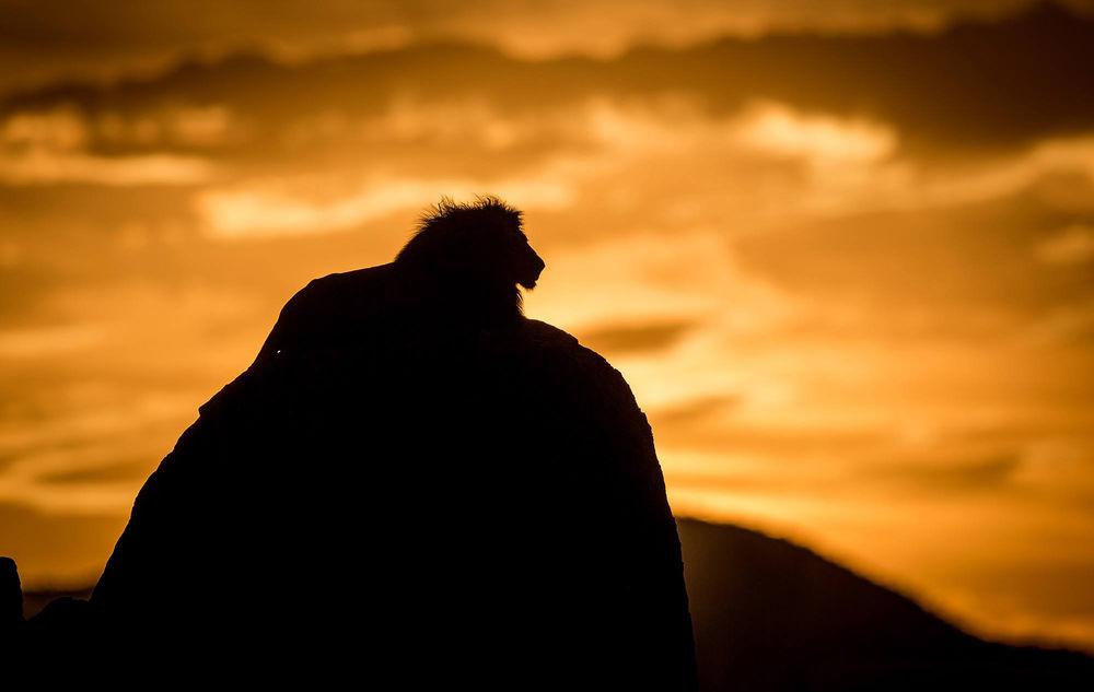 Картинки лев на горе