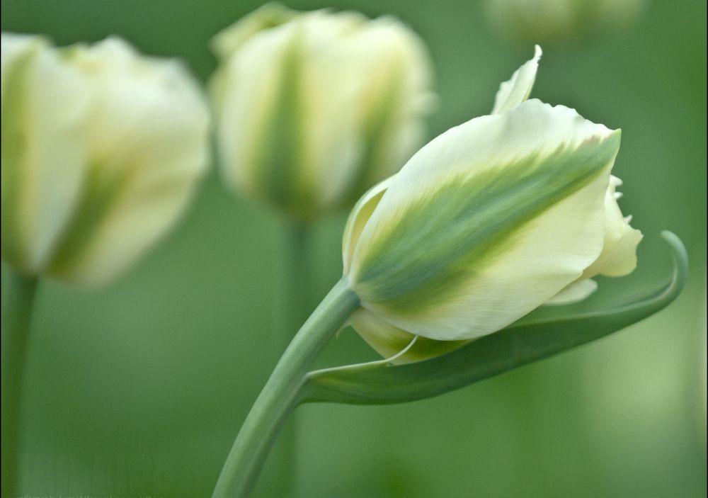 надевают постеры с зелеными тюльпанами пускай твое сердце