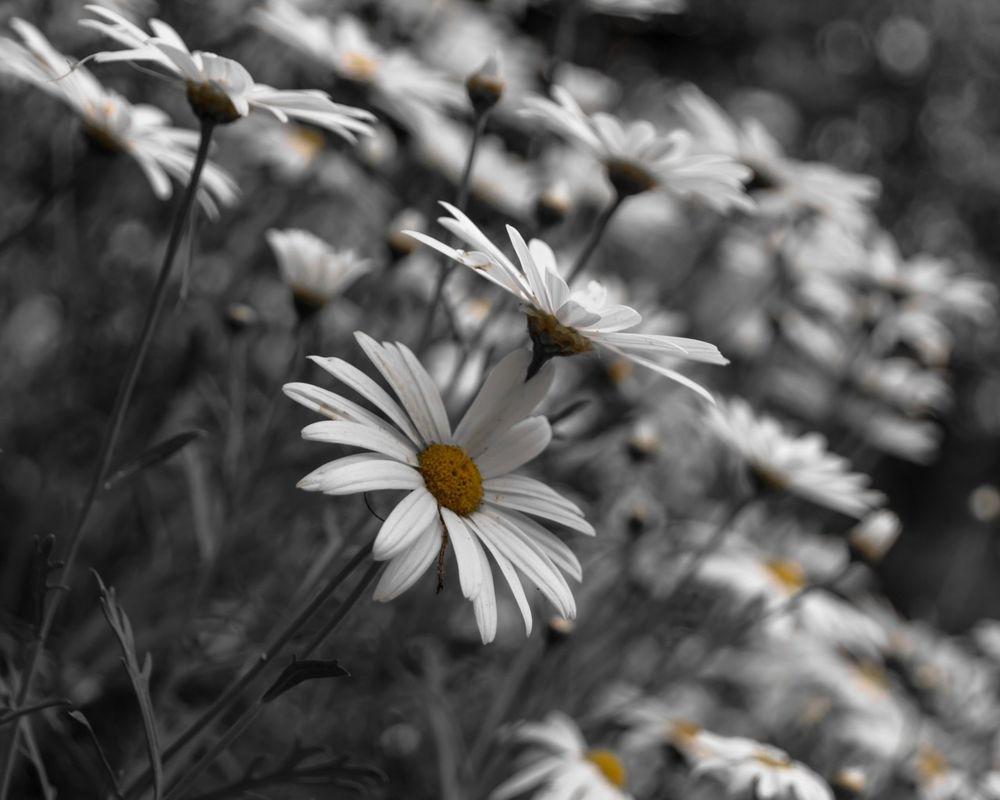 Чёрно-белые ромашки картинки