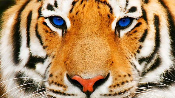Обои Морда синеглазого тигра