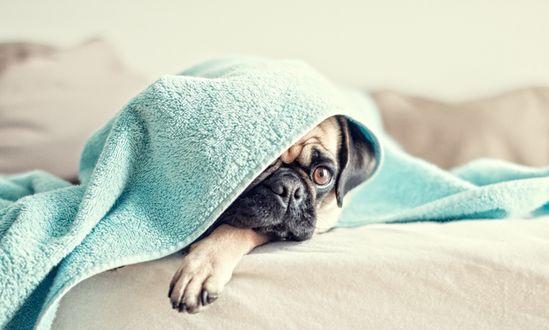Обои Мопсик, лежа на постели, выглядывает из-под полотенца