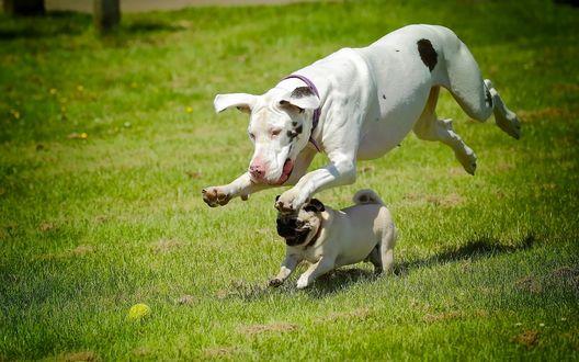 Обои Немецкий дог и мопс весело бегут по траве