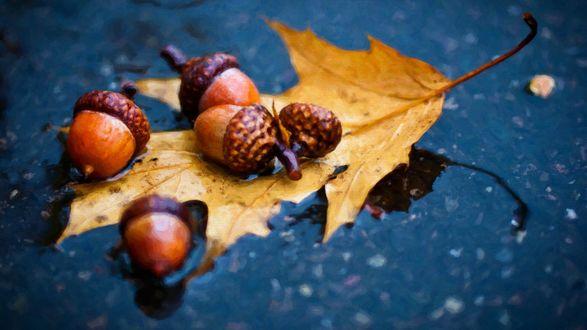 Обои Желуди и дубовый лист под осенним дождем