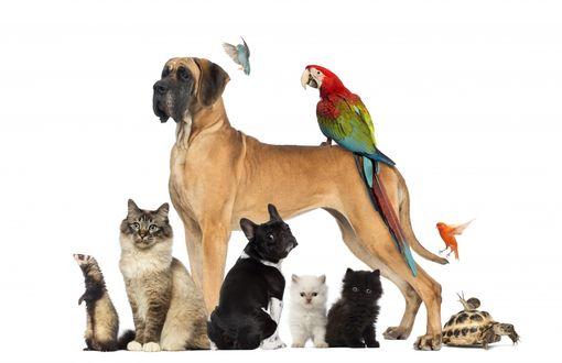 Обои Немецкий дог, французский бульдог, кошки, хорек, попугаи, черепашка и улитка на белом фоне
