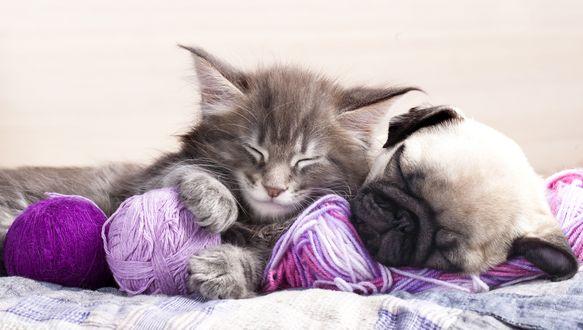 Обои Мопс и котенок спят вместе, рядом лежат клубки ниток