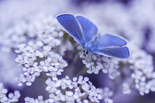 Обои Голубая бабочка на цветах, ву Igor Alekseev