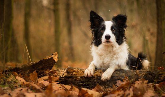Обои Собака лежит, опираясь лапами на бревно серди сухих листьев