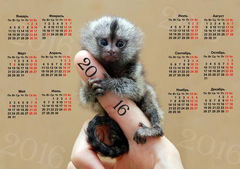 Обои Маленькая обезьянка сидит на руке (Календарь на 2016 год)