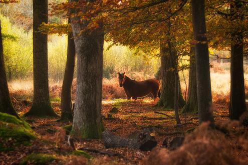 Обои Лошадь в лесу, ву Tommy Clark