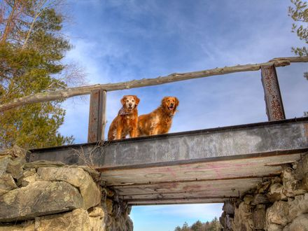 Обои Два золотистых ретривера на мосту на фоне неба