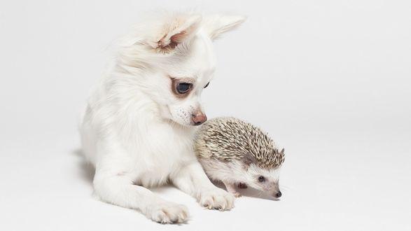 Обои Маленькая собака Чихуахуа смотрит на ежа