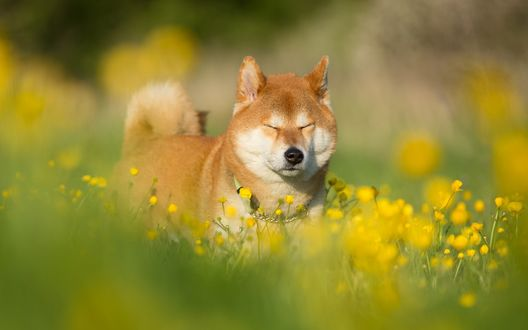 Обои Собака породы акита-ину стоит в поле среди желтых цветов