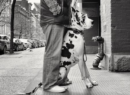 Обои Мальчик и щенок немецкого дога стоят на улице города, by astolfi23