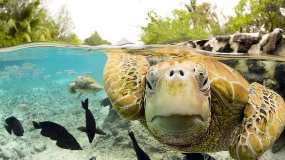 Обои Морские черепахи обитатели теплых тропических вод