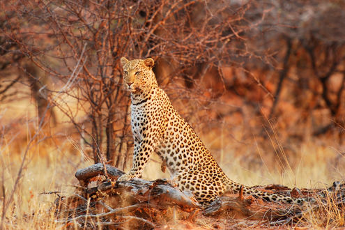 Обои Леопард на размытом фоне деревьев